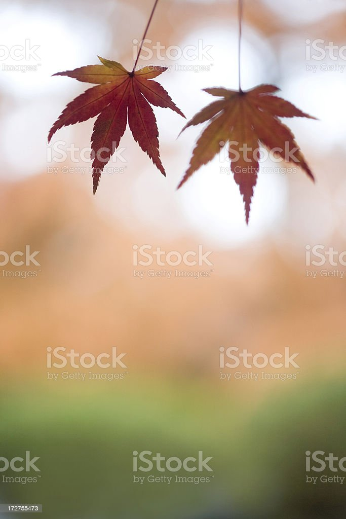 Two Autumn Leaves royalty-free stock photo
