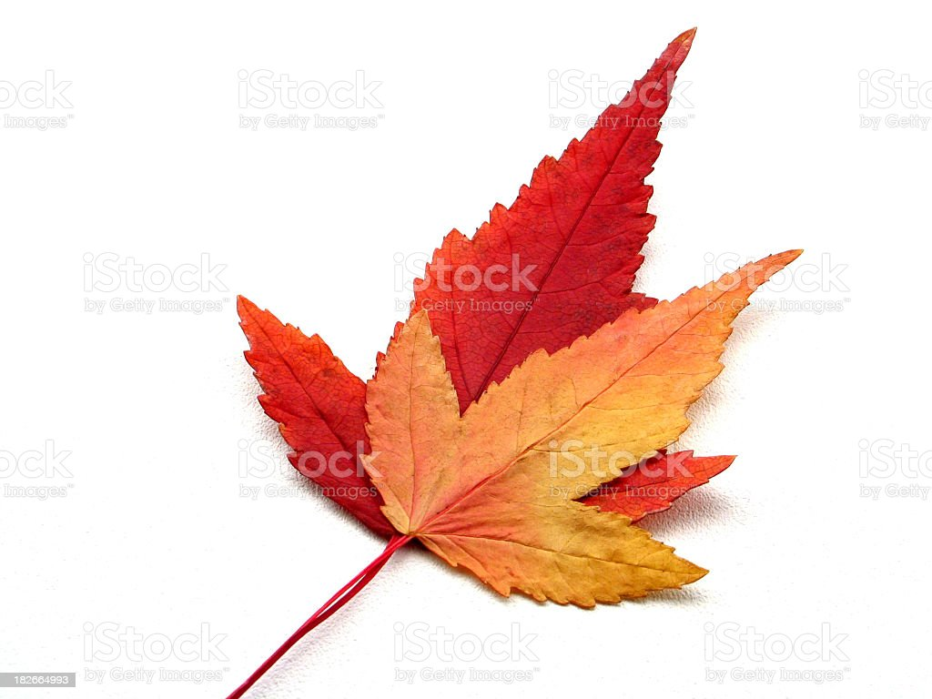 Two autumn leaves stacked on top of each other royalty-free stock photo
