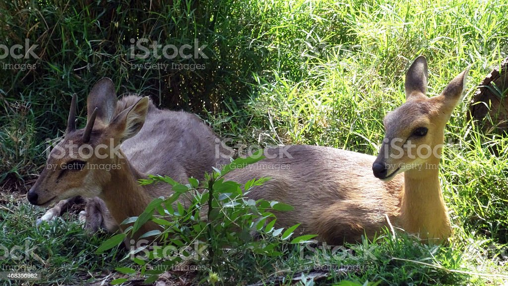 Two babies of Roe buck royalty-free stock photo