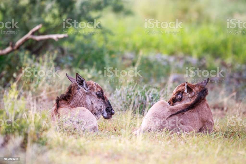 Two baby Blue wildebeest in the grass. stock photo