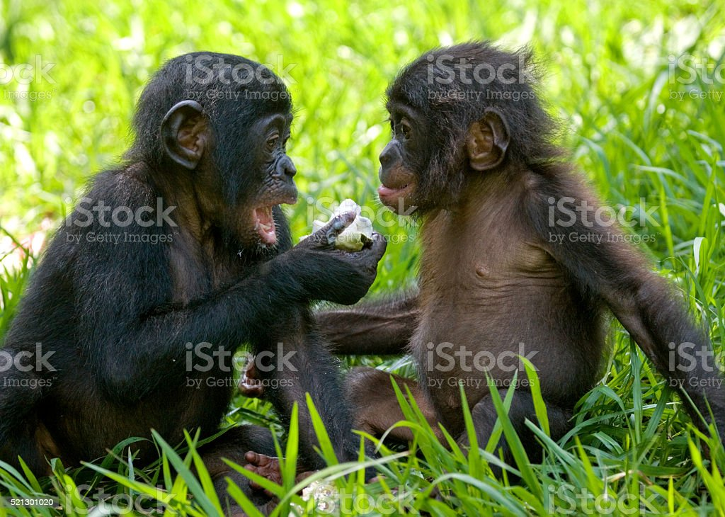 Two baby bonobo playing with each other stock photo
