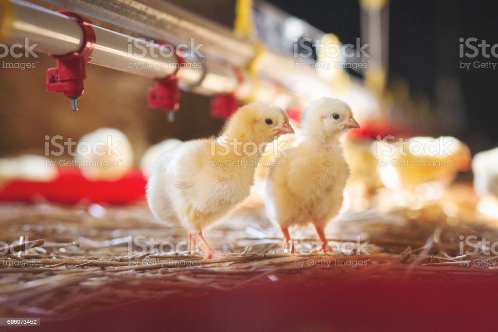 Two baby chicks at farm stock photo