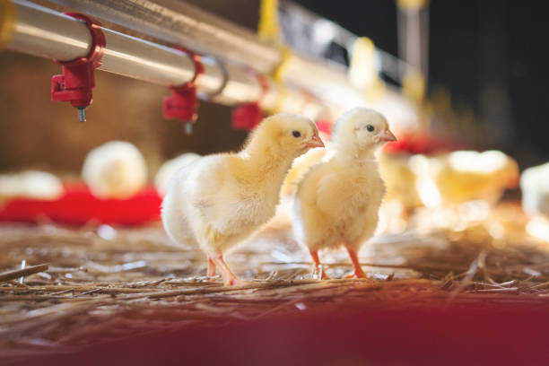 Two baby chicks at farm Chicken at farm. Shallow DOF. Developed from RAW; retouched with special care and attention; Small amount of grain added for best final impression. 16 bit Adobe RGB color profile. poultry stock pictures, royalty-free photos & images