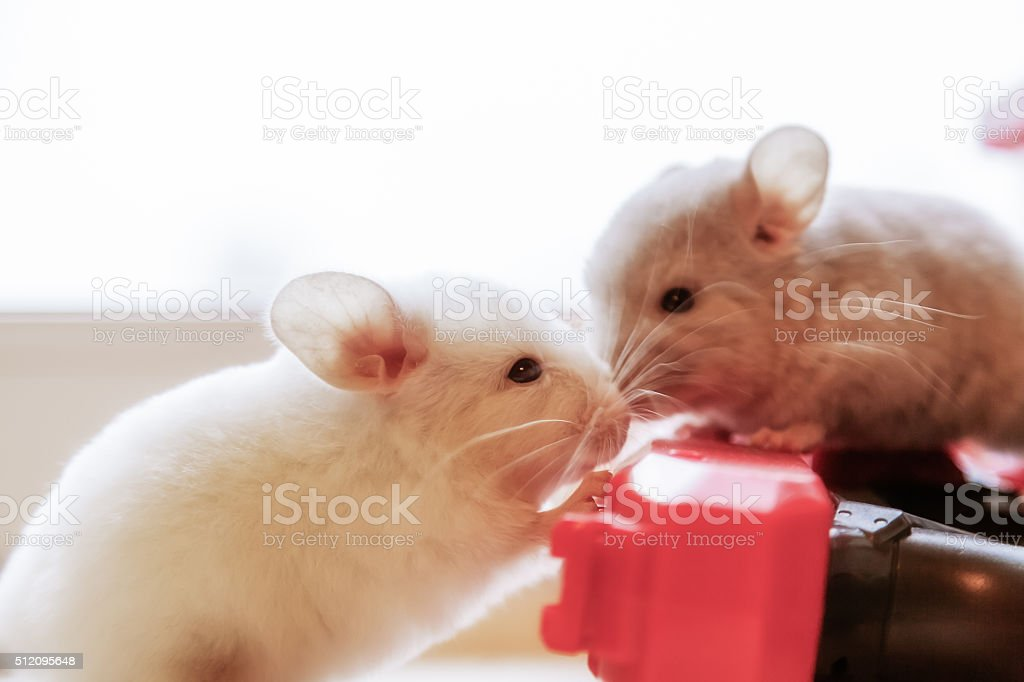 Two Baby chinchillas photographed close stock photo