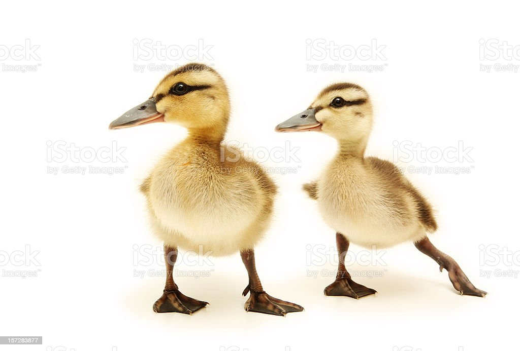 Two Baby Ducks Looking Away stock photo