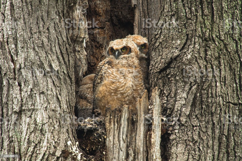 Two Baby Great Horned Owls Sitting In A Tree stock photo