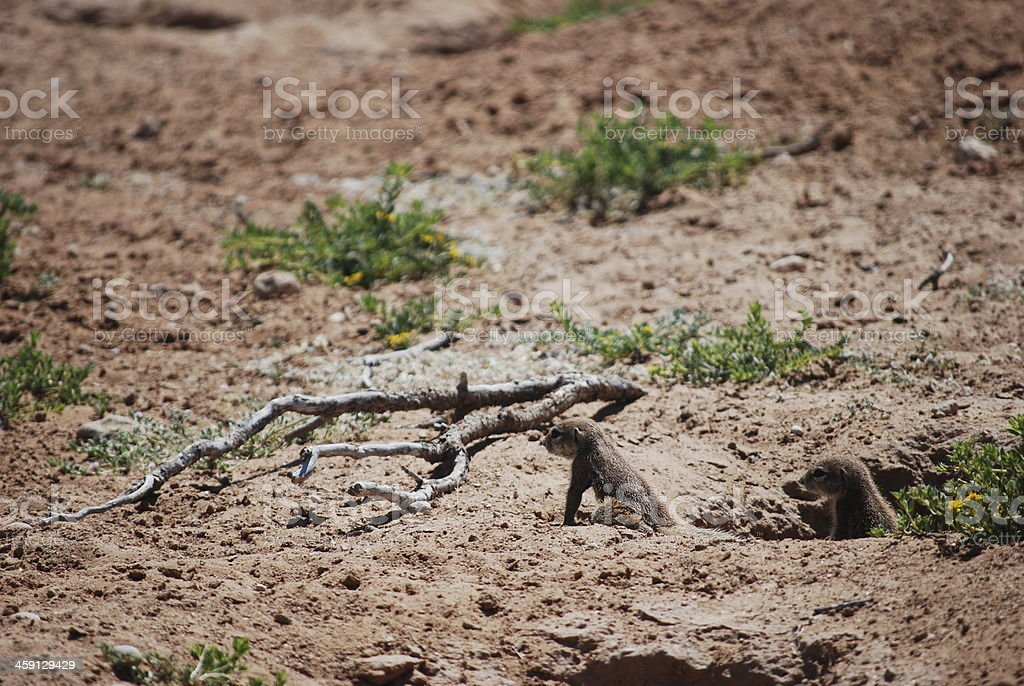 Two Baby Ground Squirrels stock photo