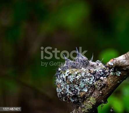 Two baby hummingbird in the nest