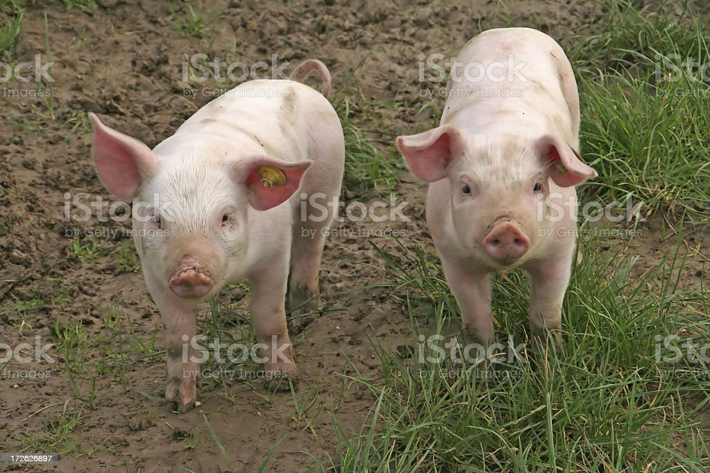 Two baby pigs # 4 royalty-free stock photo