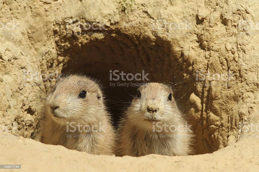 Two baby prairie dogs looking out of their burrow royalty-free stock photo