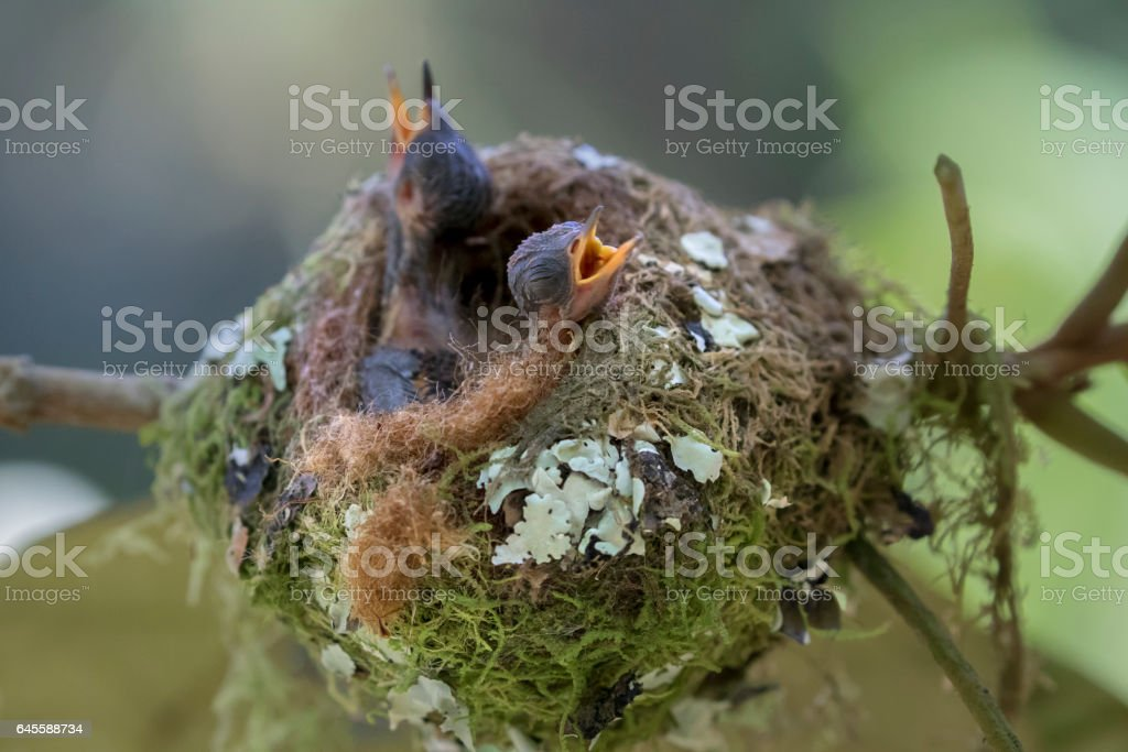 Two Baby Purple-Throated Mountain Gem Hummingbirds in Nest stock photo