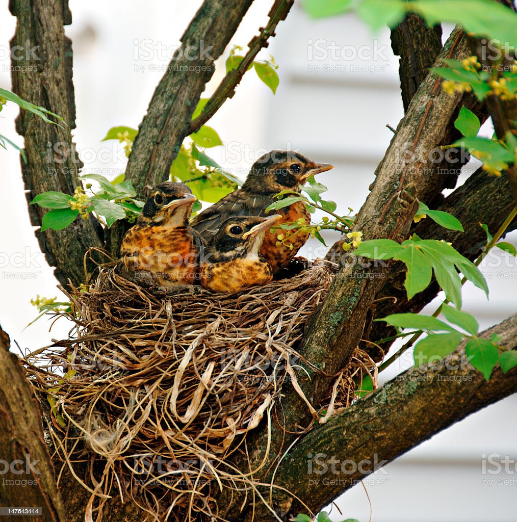 Two baby Robins with their parent in a nest up in a tree stock photo