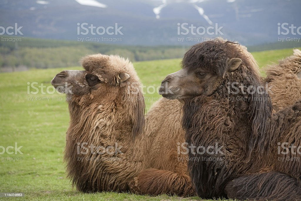 Two Bactrian camels sitting together royalty-free stock photo