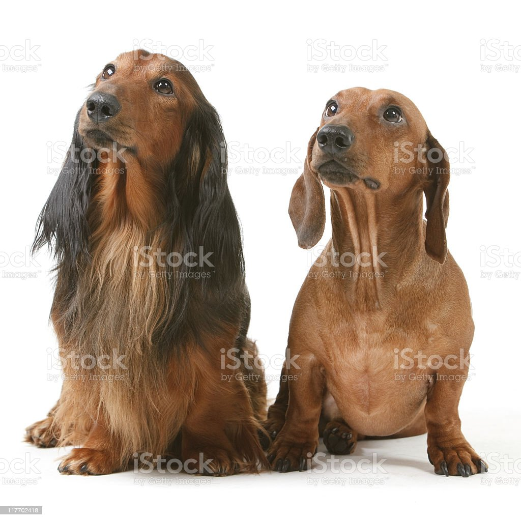 two badger-gogs royalty-free stock photo