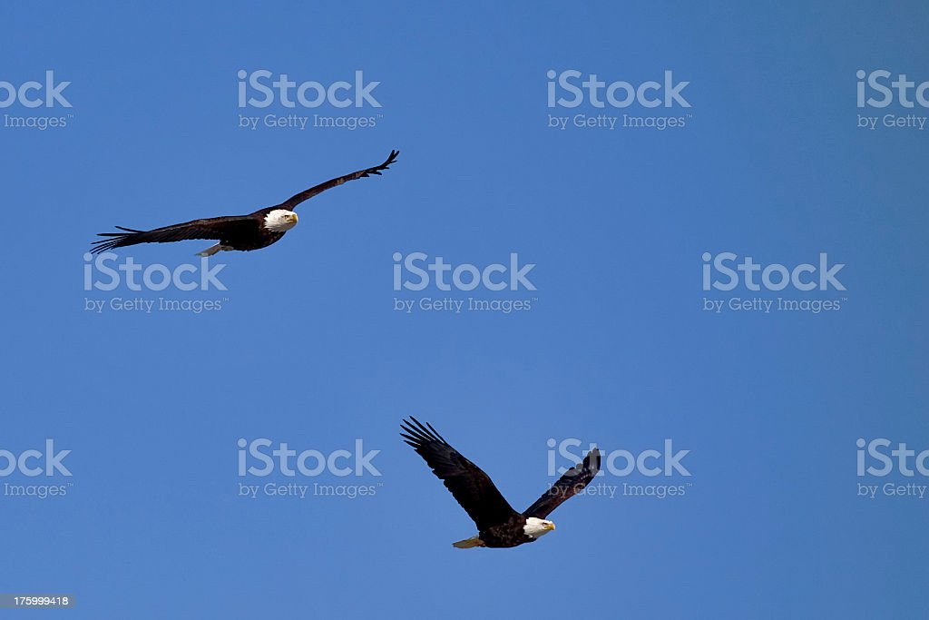 Two Bald Eagles in Flight stock photo