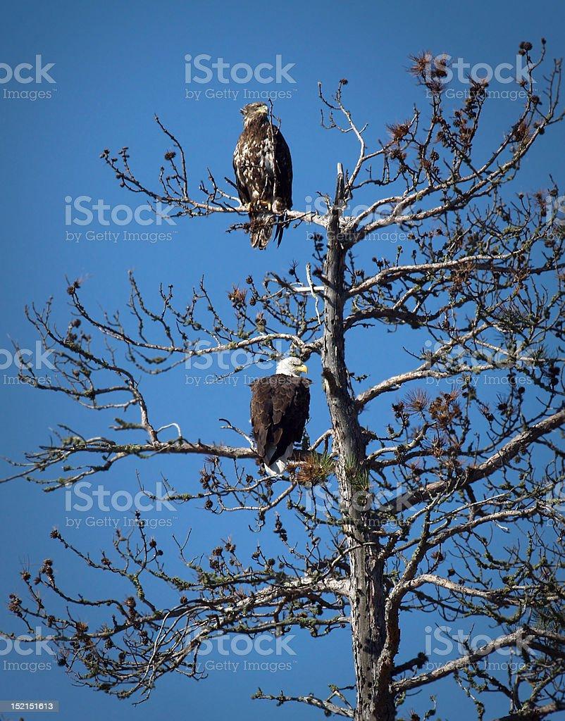 Two Bald Eagles stock photo