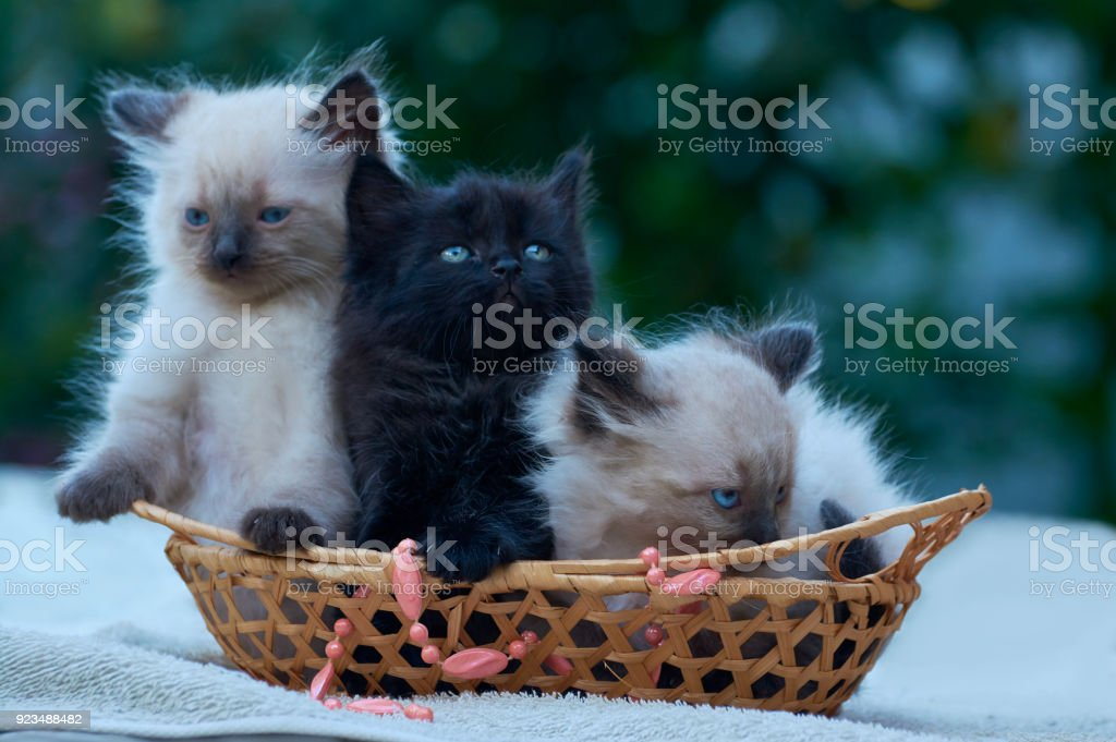 Two Balinese And One Black Kitten Sitting In A Basket On A