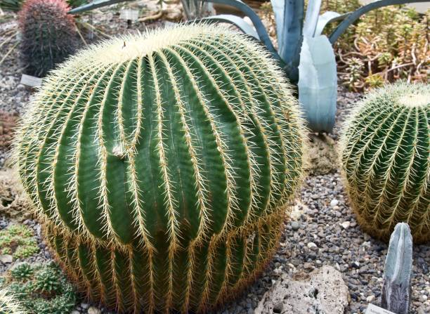 two ball cacti in the foreground with other cacti in the background - fishman imagens e fotografias de stock