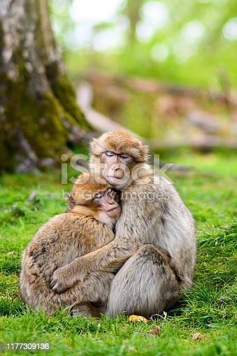 Two Barbary-macaque monkeys holding one another on a small clearing within a forest.