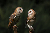 Barn owl looking backwards towards the camera,, isolated on white
