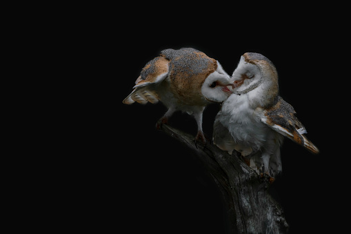 Two Barn owls (Tyto alba) sitting on a branch. Dark black background. Noord Brabant in the Netherlands. Love birds.