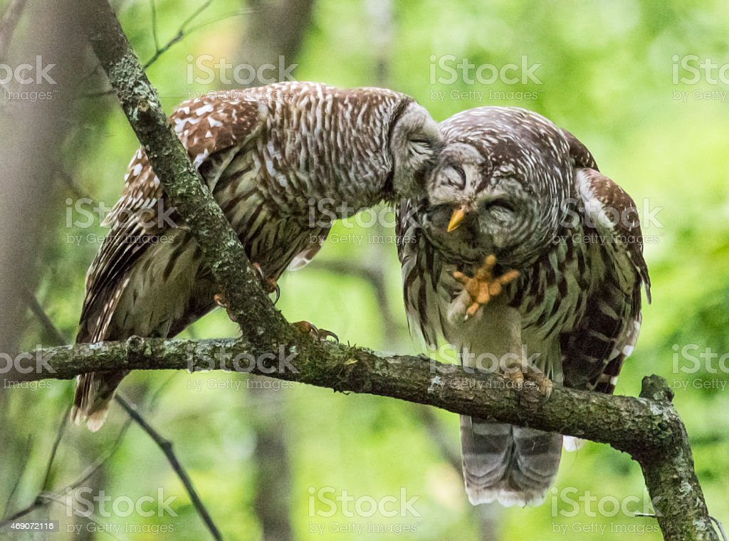 Two Barred Owls on a limb stock photo