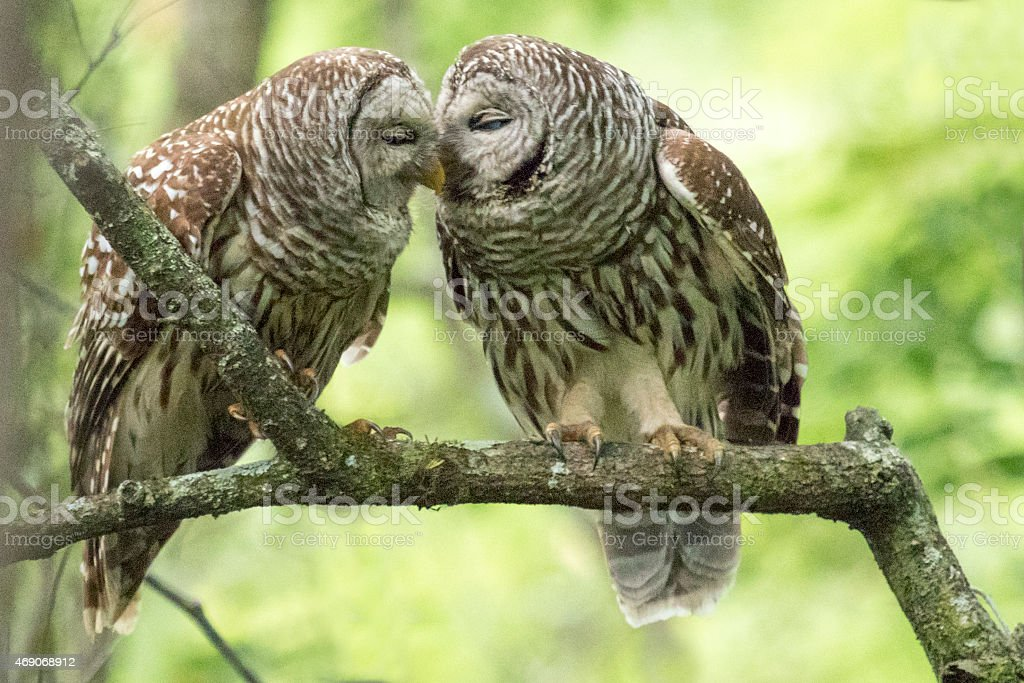Two Barred Owls stock photo