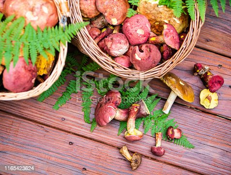 Two baskets with the freshly picked wild mushrooms, mostly Ruby Boletes and other Boletus, on the porch of the country house in Poconos, Pennsylvania, USA