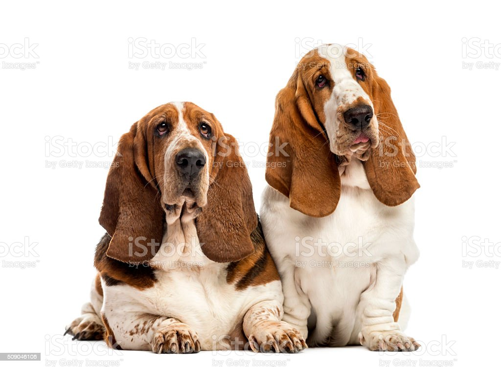 Two Basset Hounds in front of a white background stock photo