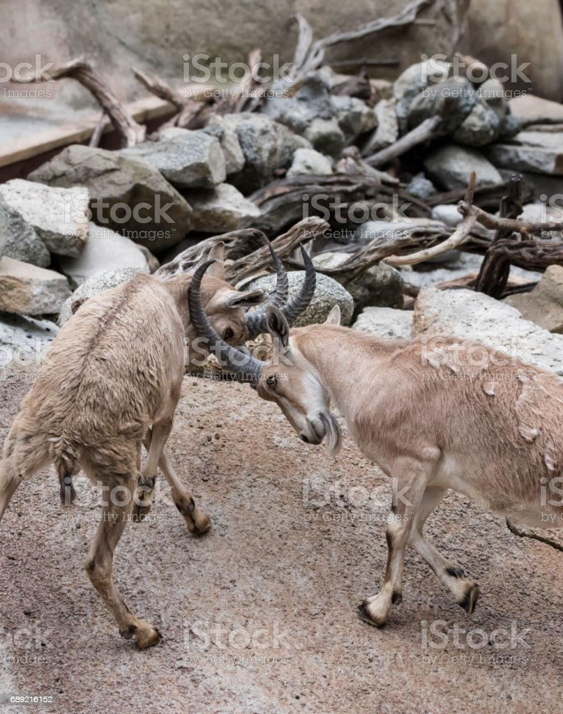 Two battling Nubian Ibex males stock photo