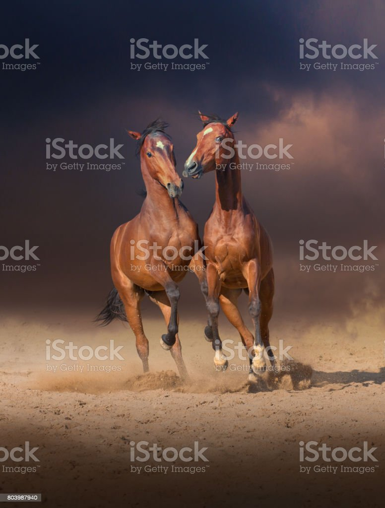 Two bay horses play with each others on the sand on evening sky background stock photo
