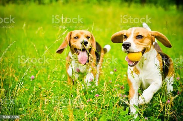 Two beagle picture id506914639?b=1&k=6&m=506914639&s=612x612&h=mu gk6hpgxhnqn23p2uvl9ip cfab fgatwwj j7myc=