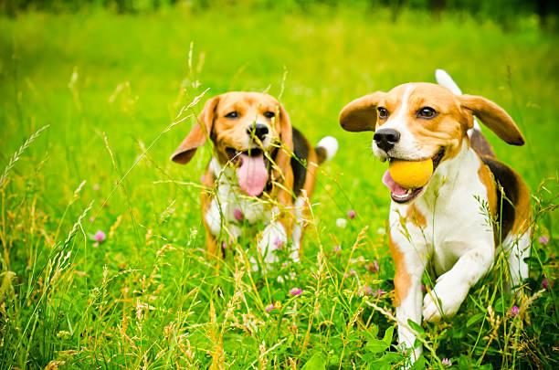 Two beagle picture id506914639?b=1&k=6&m=506914639&s=612x612&w=0&h=gq9x8nzlzhi gvuciw8p9qi3ps 1 ggh9wmt1ta9 q0=