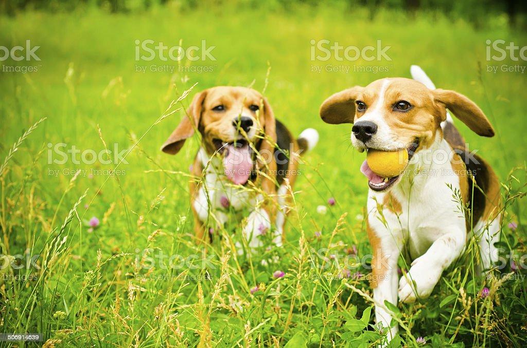two beagle foto