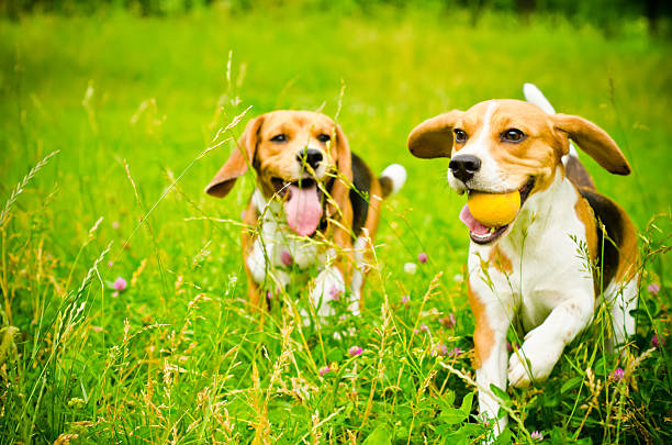 Zwei beagle – Foto