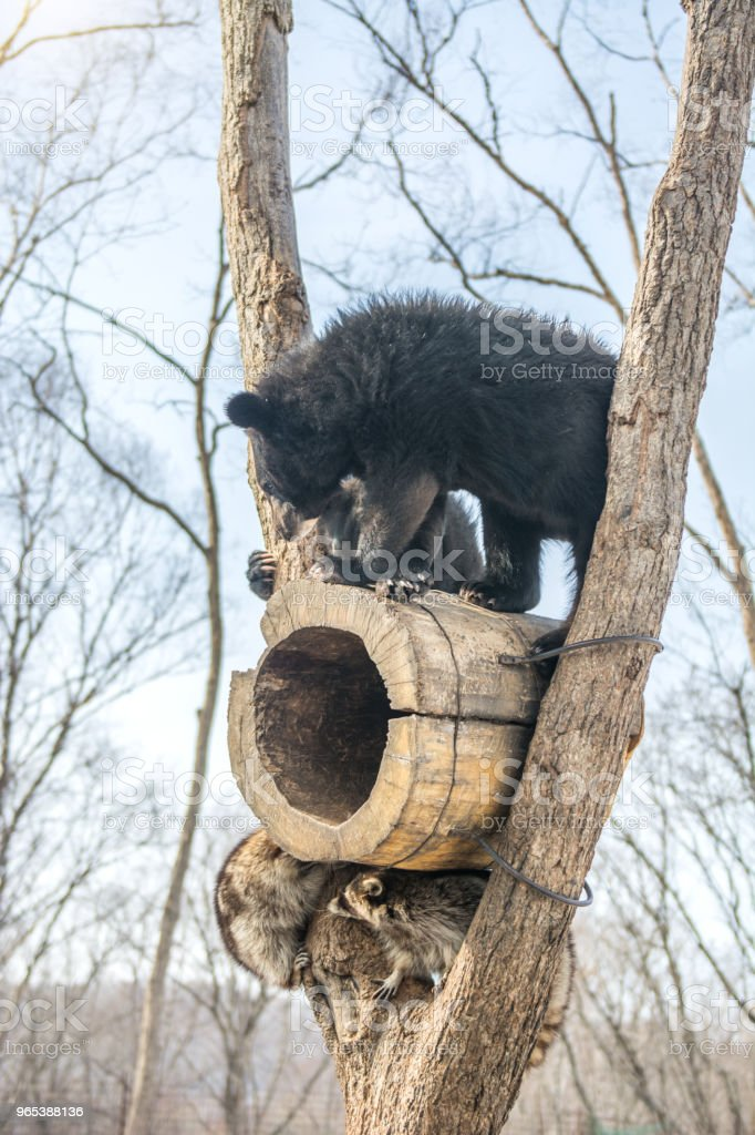 two bear cubs play in a tree along with raccoons, raccoons run away with wood from the bears. royalty-free stock photo