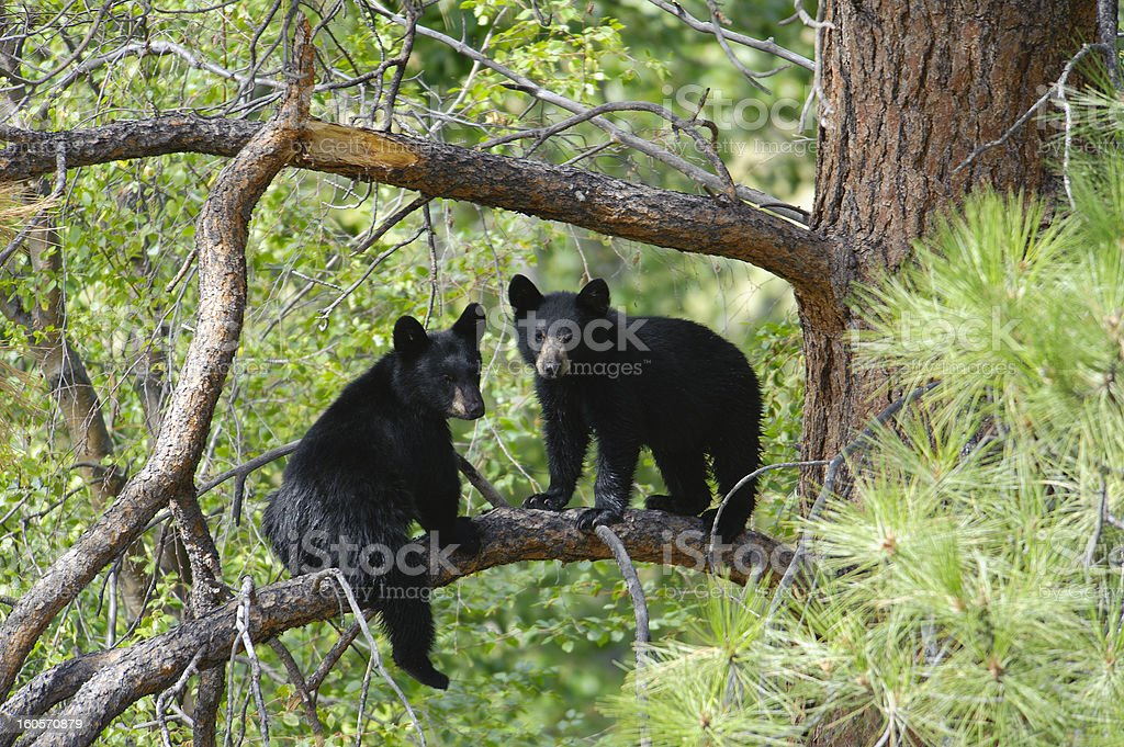 Two Bear Cubs Sitting on a Tree Branch stock photo
