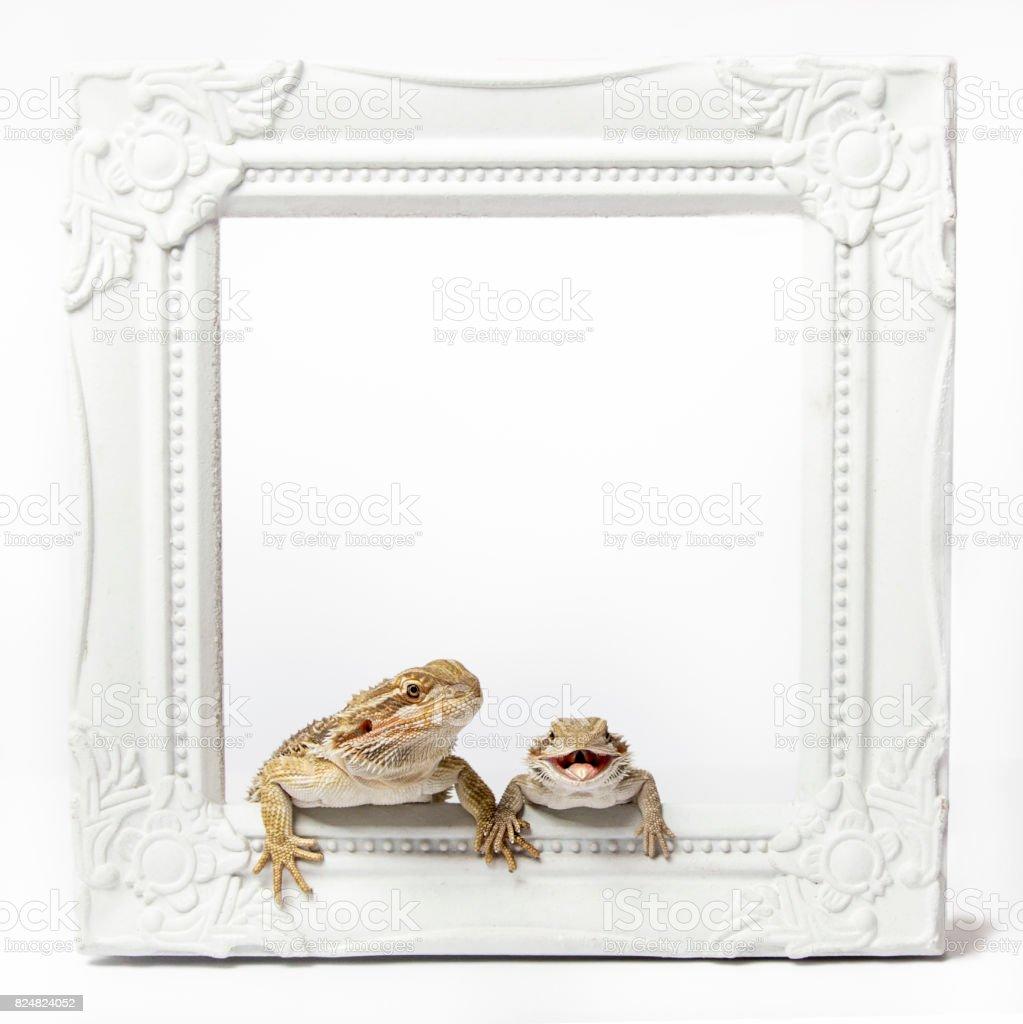 Zwei Bartagamen halten Hände / Füße / Pfoten sitzt in einem weißen Bilderrahmen isoliert auf weiss – Foto