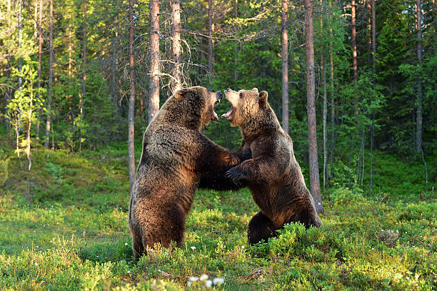 Two bears fighting Two bears fighting republic of karelia russia stock pictures, royalty-free photos & images