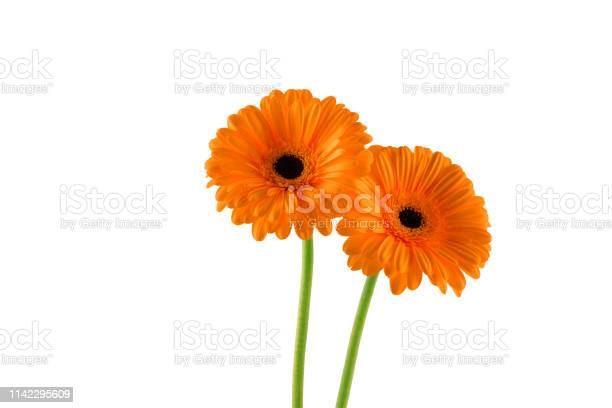 Two beatiful orange gerbera on white background picture id1142295609?b=1&k=6&m=1142295609&s=612x612&h=vhmjbewmvuy3gpvl2rfwuz6xjfj ecrh8uo5mq7 sxi=