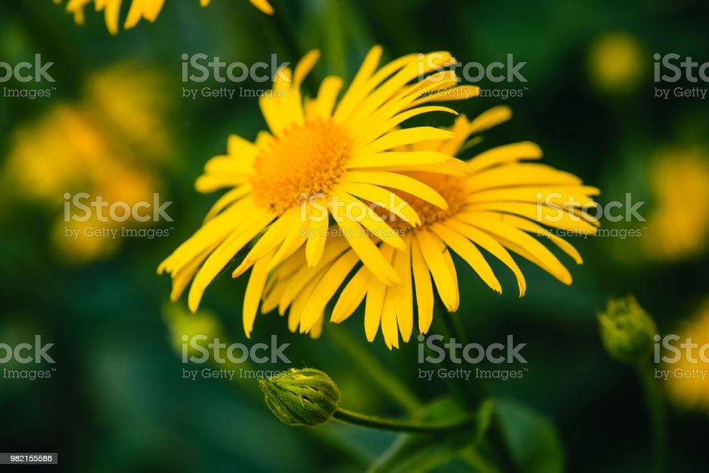 Two beautiful arnica grow in contact close up. Bright yellow fresh flowers with orange center on green background with copy space. Medicinal plants. stock photo