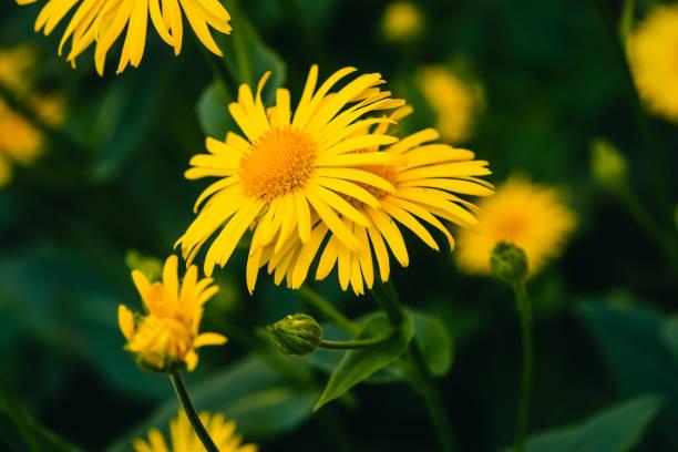deux belles arnica poussent en contact étroit vers le haut. fleurs fraîches jaune vif avec centre orange sur fond vert avec l'espace de la copie. plantes médicinales. - couleur des végétaux photos et images de collection