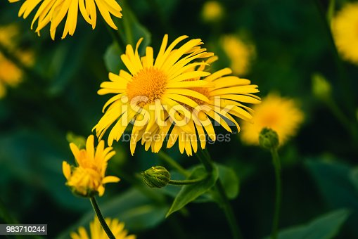 Two Beautiful Arnica Grow In Contact Close Up Bright Yellow Fresh