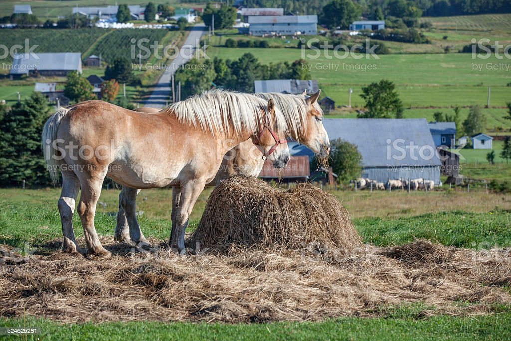 Two Beautiful Belgian Draft Horses Feeding In The Pasture Stock Photo Download Image Now Istock
