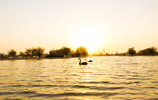 Two Beautiful Black Swans swimming in the water (Cygnus atratus). Al Qudra lake, Dubai, UAE.