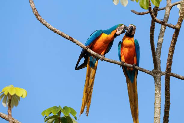 Zwei schöne blau-gelbe Aras dicht beieinander thront auf einem Ast eines Baumes gegen blauen Himmel, Köpfe zusammen, knabbern, Amazonien, San Jose do Rio Claro, Mato Grosso, Brasilien – Foto