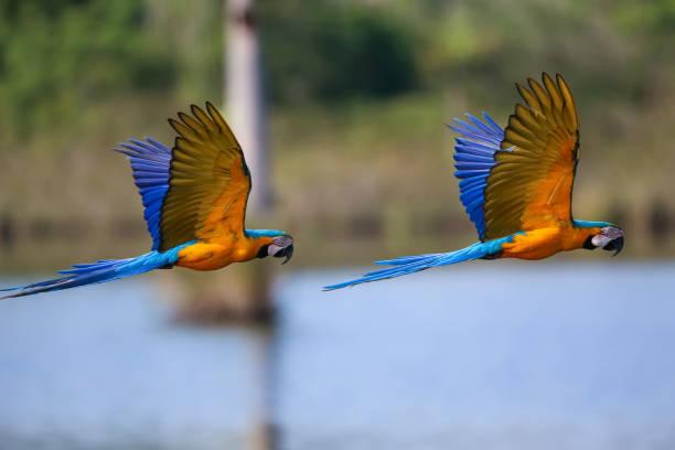 Zwei schöne Blau-Gelb-Aras im Flug nach rechts vor defokussiertem Naturhintergrund, Amazonien, San Jose do Rio Claro, Mato Grosso, Brasilien – Foto
