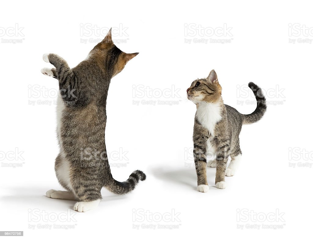 Two beautiful cats contacting royalty-free stock photo