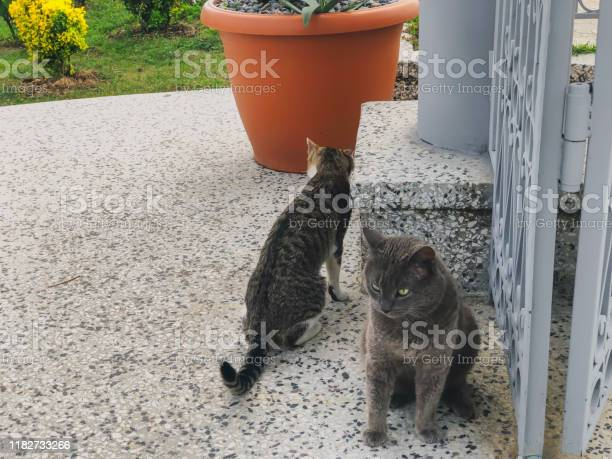 Two beautiful cats with gray and white spots playing on a yard near picture id1182733266?b=1&k=6&m=1182733266&s=612x612&h=lhuhfar 2l 02hsxt pkaynfqeloup7rgjqqm01gghu=