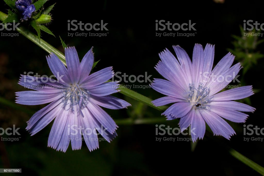 Two beautiful flowers blossoming on a twig of chicory. Live nature. stock photo